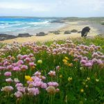 toby on the machair